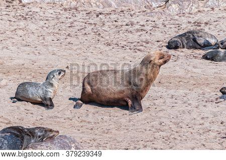 A Cape Fur Seal Cow And Pup, Arctocephalus Pusillus, Walking At Cape Cross In Namibia
