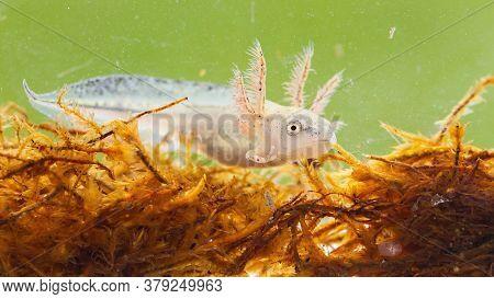 Danube Crested Newt Larva Swimming In Marsh Under The Water.
