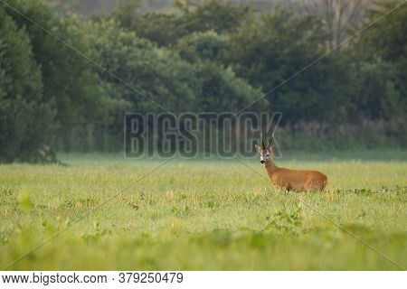 Majestic Roe Deer Buck Standing On Meadow In Summer Nature In The Morning.