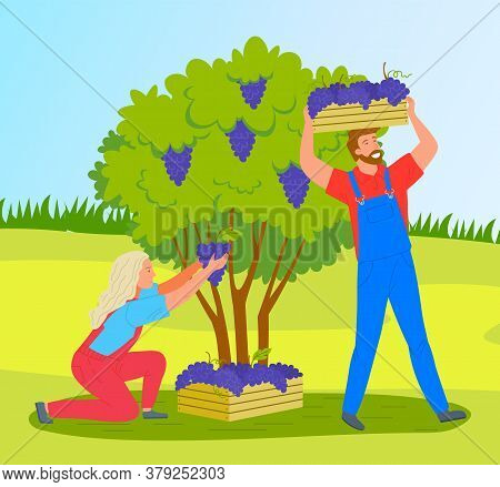 Man And Woman Are Picking Grapes From Bushes On A Vineyard Plantation. Farmers Collecting Ripe Grape
