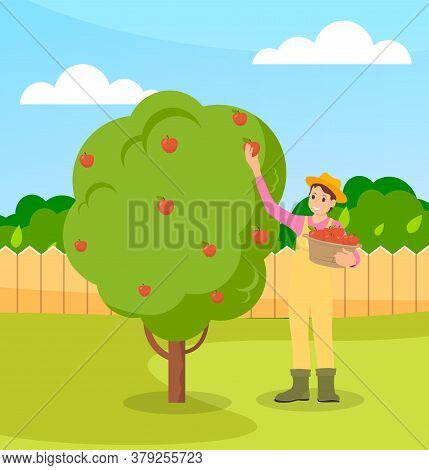 Young Farmer Collects Apples From A Tree In A Basket. An Apple Tree On The Lawn. Trees Behind The Fe