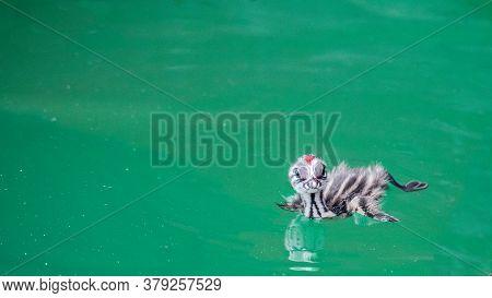 One Baby Great Crested Grebe (podiceps Cristatus) Swimming In Lake Geneva, Switzerland.