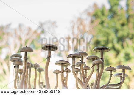 Fresh Psilocybin Shroom. Growing Albino A Strain. Magic Shroom. Fungi Hallucinogen. Hallucinogenic P