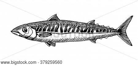 Atlantic Mackerel, Commercial Fish, Delicious Seafood, Engraving, Sketch, For Logo Or Emblem, Vector