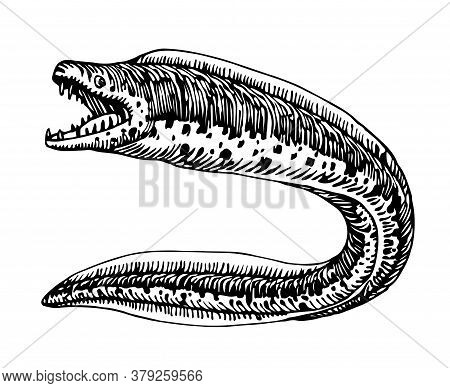 Spotted Moray, Dangerous Sea Fish, Delicious Seafood, For Logo Or Emblem, Engraving, Sketch, Vector