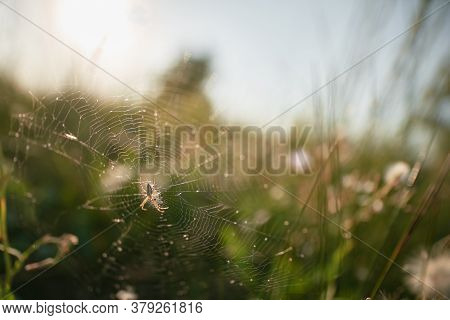Spider On The Web Waiting For Victim. Oxyopes Salticus In The Nature. Danger Lynx Spider In The Wild