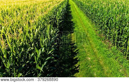 Low Altitude Aerial Photo Of Rows Of Maize Plant In Austria. Path Between Corn Fields