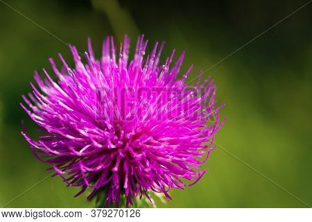Silybum Or Milk Thistle. Close Up. Extracts Of Milk Thistle Have Been Recognized As