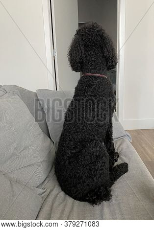 A Purebred Black Standard Poodle Waiting Sitting On A Couch Waiting For His Human To Come Home.