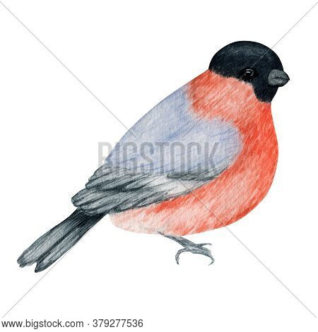 Watercolor Bullfinch Christmas Bird. Hand Painted Illustration Isolated On White Background. Winter