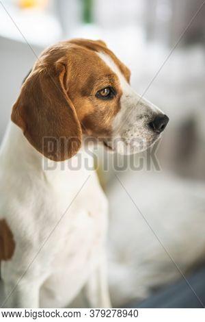 Beagle Dog Portrait In Bright Interior Canine Theme