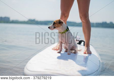 A Small Brave Dog Is Surfing On A Sup Board With The Owner On The Lake. Close-up Of A Jack Russell T