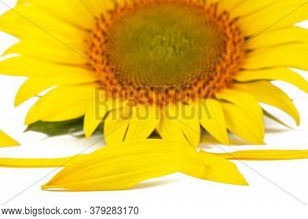 Sunflower Petals. Sunflower Petals On A Background Of A Sunflower. Yellow Sunflower Petals , Sunflow