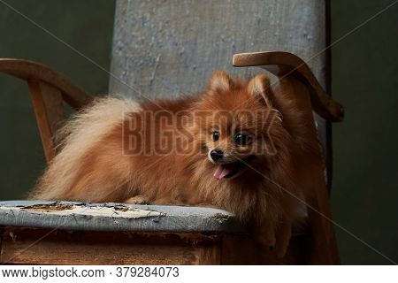 Pomeranian Spitz Dog Portrait, Close-up. Red Pomeranian Spitz