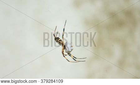 Close-up To A Spider With The Body And Legs Of Black And Yellow In The Center Of Its Spider Web On G