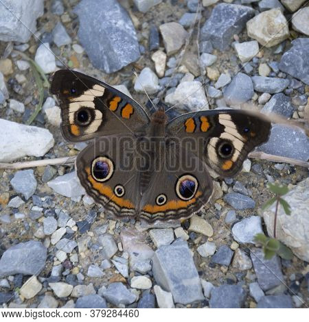 A Common Buckeye Butterfly, With Colorful Eye Spots On It's Wings, Rests On A Gravel Path.