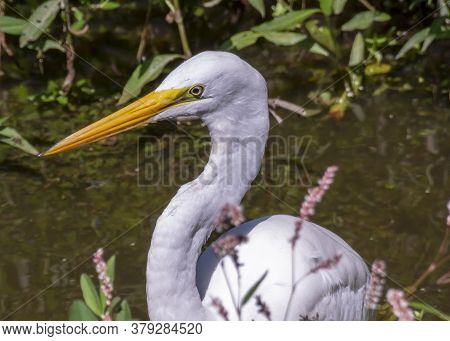 A Large White Snowy Egret Keeps A Sharp Eye Out For A Meal In A Virginia Marsh.