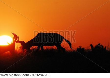 A Great Sunrise Close Up View Of Silhouetted Hartbeest Antelopes Locking Horns Against The Sun, In T