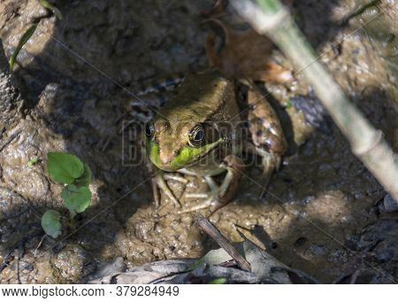 A Brown Bullfrog With Green Accents And Dark Spots Basks In A Muddy Marsh.