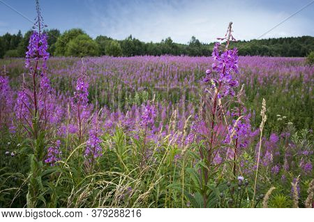 Pink Flowers Of Willow-herb (ivan Tea, Fireweed) In A Summer Field