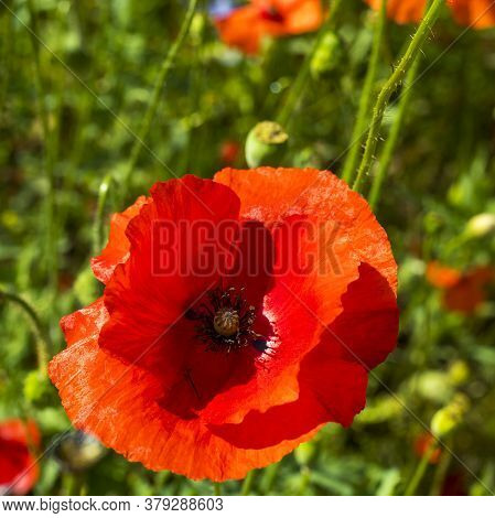 Square Frame Of Red Poppy On A Summer Meadow In Good Weather