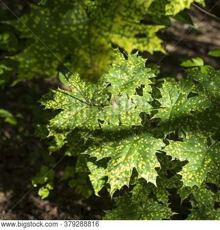 Maple Leaves With Spots Of Disease. Rhytisma Acerinum - Disease Maple Leaf.