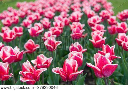 Blooming Tulip Fields In Flower Growing Region. Spring Park. Blooming Field. Tulips Festival. Floral