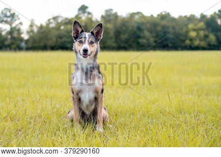 Koolie Australian Working Herding Dog Or German Coolie. Australia Original Working Herding Dog. Sitt