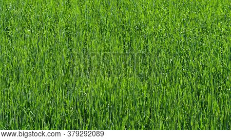 Light Green Wheat Field Textured Close-up. Wheat. Green Lawn. Corn. Sprouts. The Sun. Vivid Green Gr