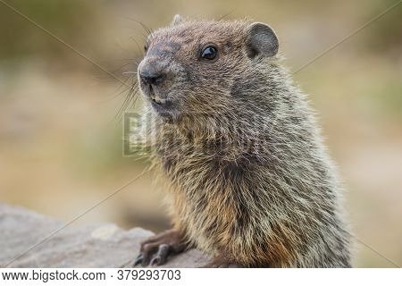 Adorable Young Groundhog (marmota Monax) Closeup Looking At Angle In Soft Beautiful Light