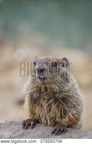 Adorable Young Groundhog (marmota Monax) Closeup Looking At Angle In Soft Beautiful Light Portrait
