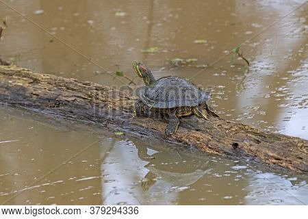 Red Eared Slider On A Marsh Log In The Anahuac National Wildlife Refuge In Texas