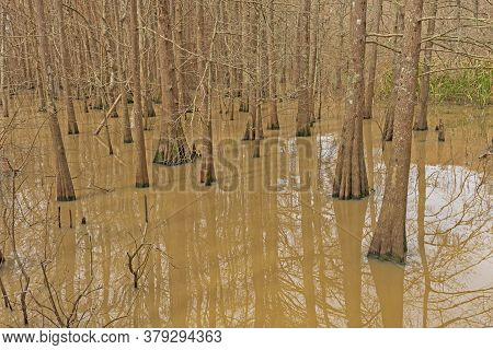 Cypress-tupelo Wetland Forest On Lake Anahuac In Texas