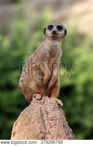 A Meerkat Stands With A Column On Top Of A Brown Stone On A Green Background. Cute Pretty Animal Clo