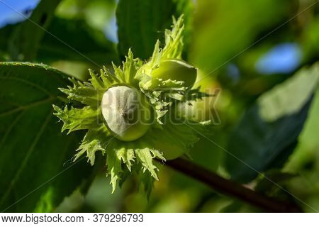 Raw Green Hazelnut Grows On A Tree Branch With Leaves Close-up. Hazelnut Grows On The Tree