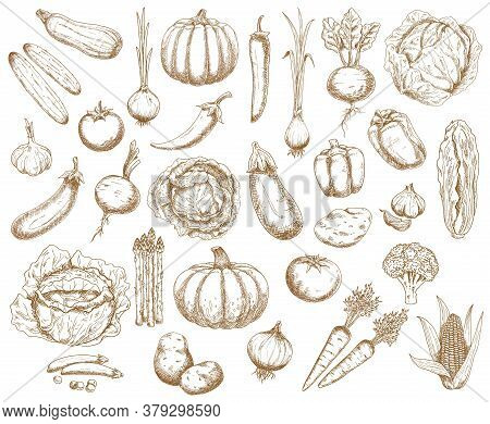Farm Vegetables, Greenery And Veggies Vector Sketch. Broccoli, Carrot And Cabbage With Cucumbers, Ch