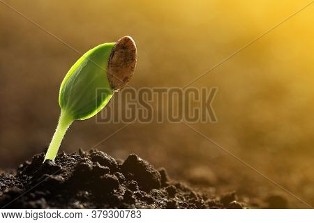 Sunlit Young Vegetable Plant Grown From Seed In Soil, Closeup. Space For Text