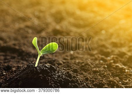 Sunlit Young Vegetable Plant Grown From Seed In Soil. Space For Text