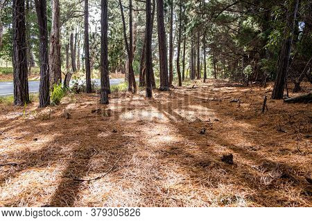 Walking Path Covered With Fir Needles Among Conifer Trees