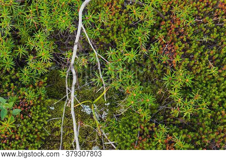 Reindeer, Deer Or Caribou Moss Is A Fungus Or Lichen Growing Primarily In Tundra And Are Extremely C