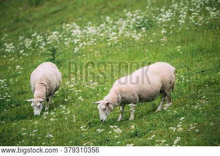 Norway. Domestic Sheep Grazing In Hilly Norwegian Pasture. Sheep Eating Fresh Spring Grass In Green