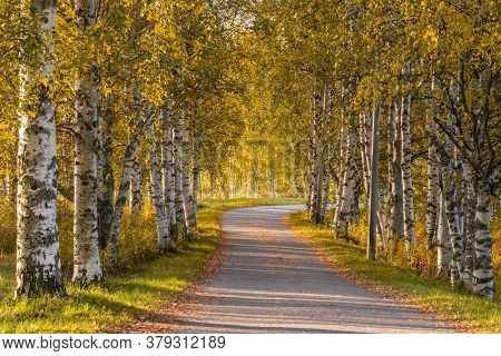 Narrow country road through alley of birch trees during autumn season. Yellow fall trees