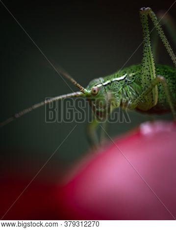 Closeup Of A Green Grasshopper Sitting On A Poppy Flower In The Garden
