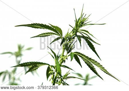 Marijuana. Cannabis. Cannabis Indica. Cannabis Sativa. Marijuana Leaf. Isolated on white. Room for text. Male Marijuana Plant with Pollen Sacks.