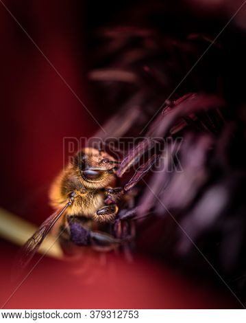 Closeup Of Beautiful Little Bee Collecting Nectar In A Red Poppy Flower