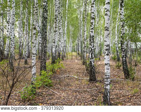 A Row Of White Birch Trees In A Grove. Landscape Photo. Admire The View. Background Image. Natural B