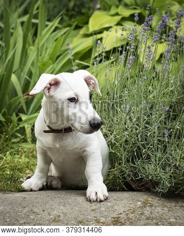 White Jack Russell Terrier Dog In The Park On Grass