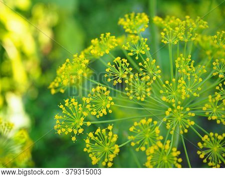 Dill Inflorescence On A Background Of Green Grass. Yellow Small Flowers. Vivid Illustration On The T
