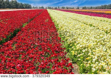 Israel. Gorgeous multicolor floral carpet. Beautiful sunny day. Kibbutz field of flowering buttercups. Spring walk in southern Israel. Ecological, botanical and photo tourism concept