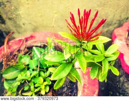 Ixora Flowers With Red Colored Buds And Green Leaves.the Leaves Has Green And Yellow Shades On It An